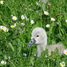 swan-2401407_640